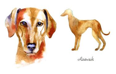 Azawak Greyhound. Watercolor hand drawn illustration on white background.