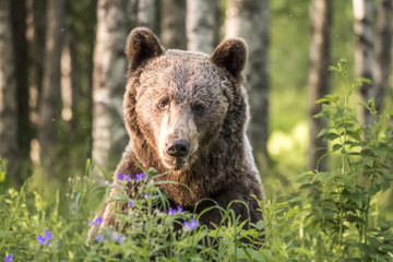 Poet bear