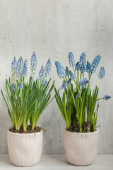 Blue muscari flowers against a light grey background
