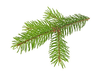 Pine tree branch isolated on white background