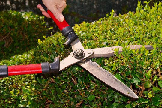 Woman hands holding scissors and cutting bush in the garden. Pruning shears in hand. Secateurs hand bush