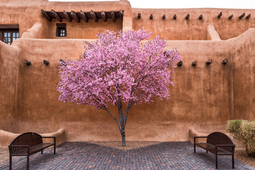 Flowering Tree Downtown Santa Fe