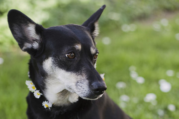 Close-up of little dog wearing a flower crown as collar
