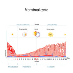 Menstrual cycle