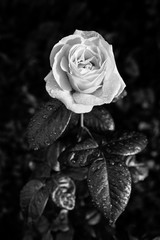 Black and white photo of rose with raindrops. Romantic picture of a beautiful rose