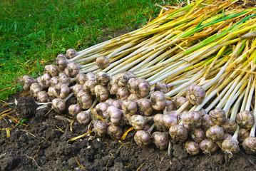 Dug the garlic in the garden