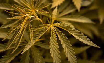 marijuana  background. bush cannabis.