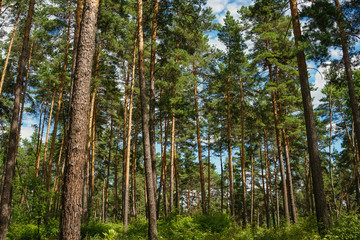 green pine forest with tall trees