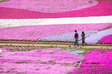 Walk the carpet of Chichibu Hitsujiyama park, ground pink. 秩父市羊山公園・シバザクラのカーペットを歩く