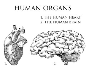 Human biology, organs anatomy illustration. engraved hand drawn in old sketch and vintage style. body detailed brain or pericranium and heart or soul.