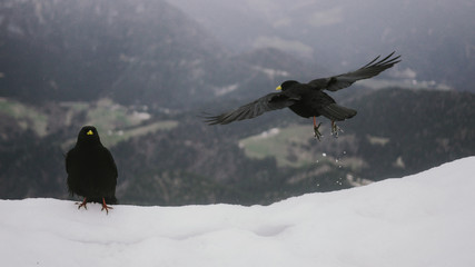 Alpine chough flying by snow covered mountain