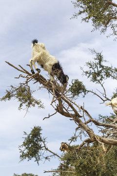 Argan tree goats