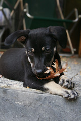 Close up of puppy dog chewing a fallen leaf