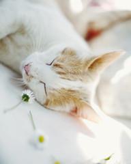 Sleeping beauty: cat asleep close to daisies on blanket