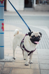 Cute pug on the street