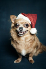 Portrait of a chihuahua, with a christmas hat