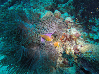 Cute Clown fishes or Nemos protected by their Anemone on a coral reef in the tropical waters of the Maldives