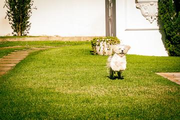 Maltese dog running on the grass
