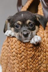 Cute black puppy lying in a bag