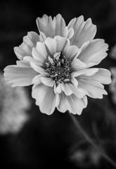 Anemone in monochrome