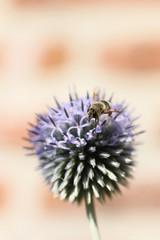 Bee on echinops flower