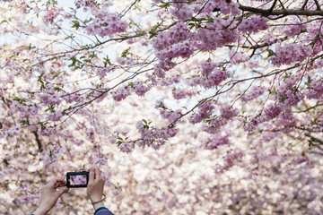 Hands holding compact camera photographing cherry blossom