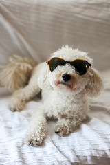 Adorable white poodle with sunglasses sitting on a couch