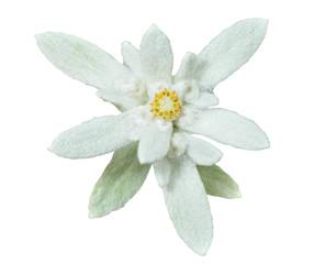 Edelweiss 14
