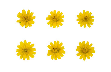 Set of yellow wedelia flowers isolated on white background