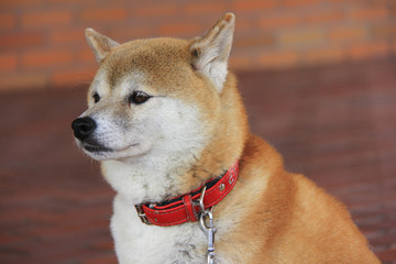 Close-up Japanese Shiba Inu dog