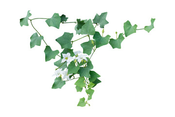 Ivy vine plant, wild climbing on white background, clipping path.