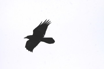 Crow Flight Dream