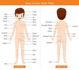 Male Human Anatomy, External Organs Body, Physiology, Structure, Medical Profession, Morphology, Healthy