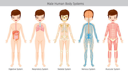 Male Human Anatomy, Body Systems, Physiology, Structure, Medical Profession, Morphology, Healthy