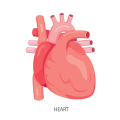 Heart, Human Internal Organ Diagram, Physiology, Structure, Medical Profession, Morphology, Healthy