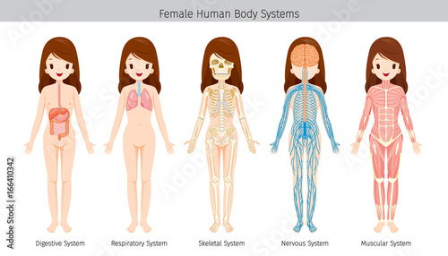Female Human Anatomy, Body Systems, Physiology, Structure, Medical ...