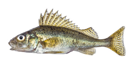 Fish ruff isolated on white background (Gymnocephalus cernuus)