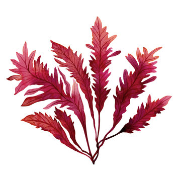 Red Seaweed,kelp, Algae in the ocean, watercolor hand painted element isolated on white background. Watercolor red seaweed illustration design. With clipping path.