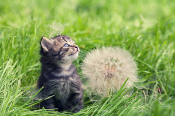 Little kitten walking on the grass next to a large dandelion