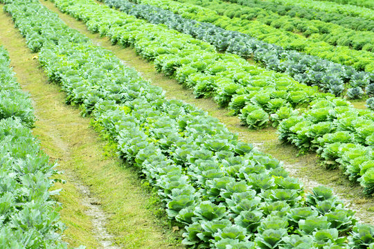 Fresh lettuce growing in Vegetable garden