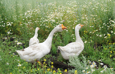 Geese are walking in a meadow