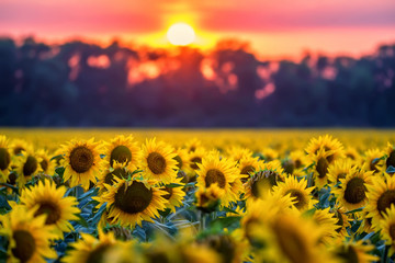 Field of sunflowers during sunset
