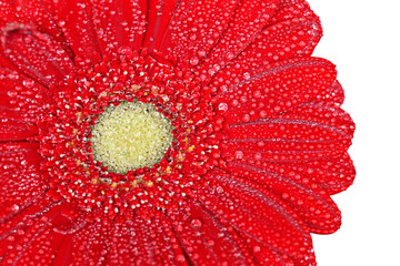 Red gerbera flower in water drops close-up on a white background.