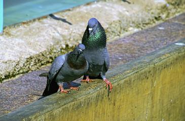 Pair of Pigeon as symbol of love