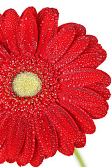 Red gerbera flower in water drops close-up on a white background. vertical