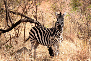 Animal zebra in the wild, landscape.