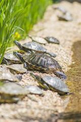 Red eared slider turtles (Trachemys scripta elegans) resting on stones near water