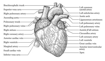 Anatomical Human heart hand drawn sketch with inscription of names of vein arteria, aorta. Medicine, Vector illustration poster. Anatomical high detailed tattoo art. Medical study info graphics banner