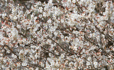 White apricot tree flower, seasonal floral nature theme, background of spring in Asia
