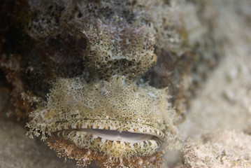 Portrait of a scorpionfish